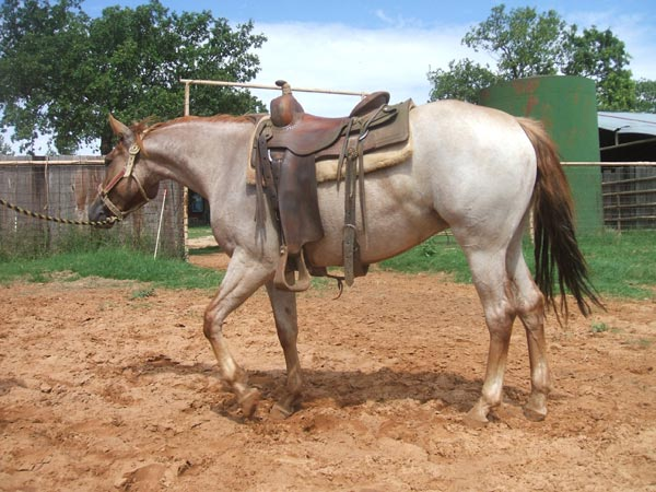 Quarter Horses For Sale In Texas With Photos AQHA Horses For...